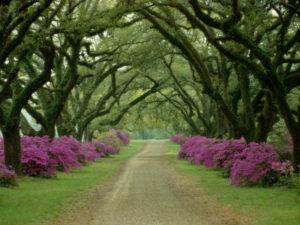 abell-sam-un-hermoso-camino-bordeado-por-arboles-y-azaleas-purpuras